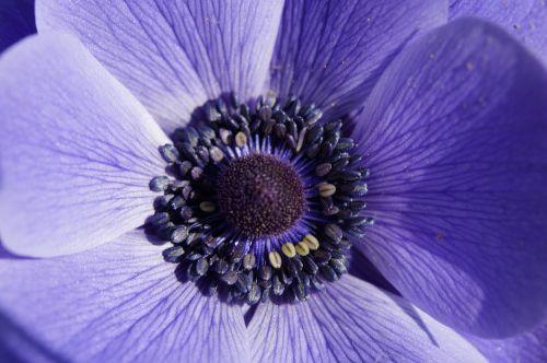 crown anemone anemone macro