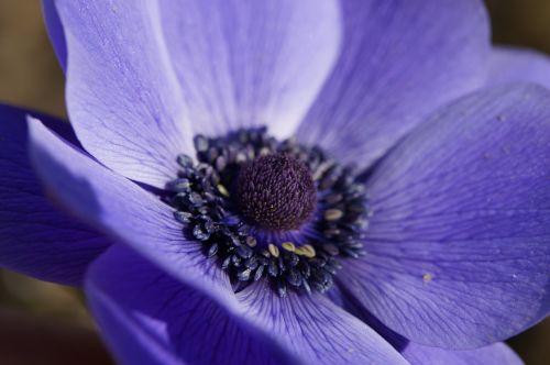 crown anemone anemone marko