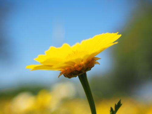 crown anthemideae flower blossom
