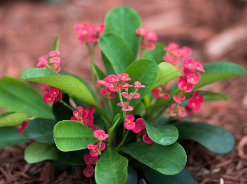 crown of thorns  flowers  nature