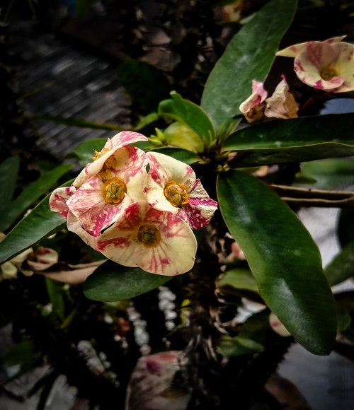 crown of thorns  euphorbia milii  flower