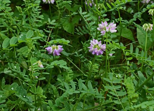 crown vetch flower blossom