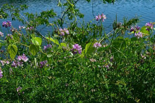 crown vetch vine flower