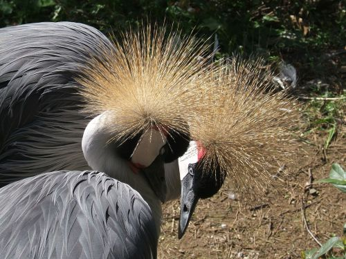 crowned cranes bird love