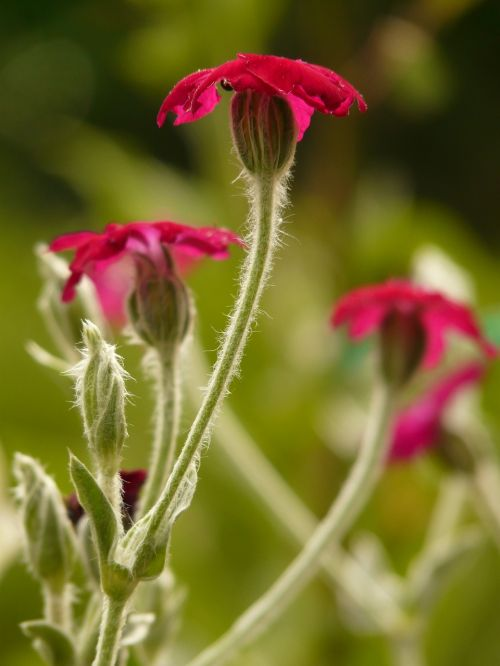 crowns campion silene coronaria carnation family