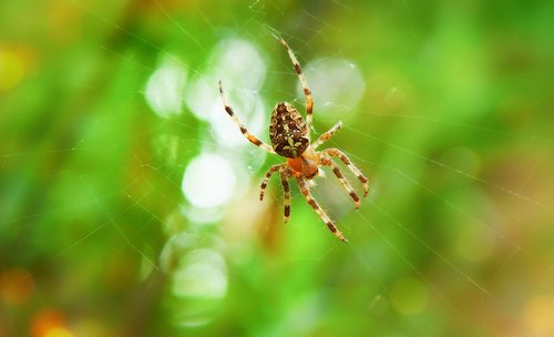 crusader  arachnid  insect