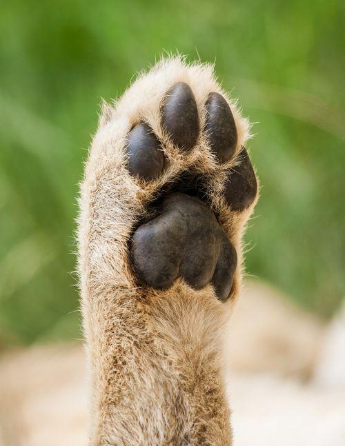 cub lion paw