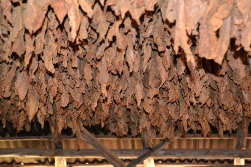 cuba vinales tobacco
