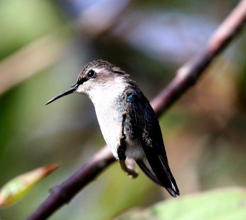 cuba hummingbird bird