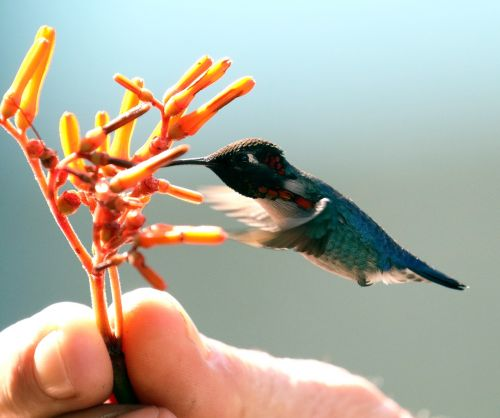 cuba bird hummingbird