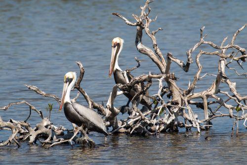 cuba cayo coco pelican