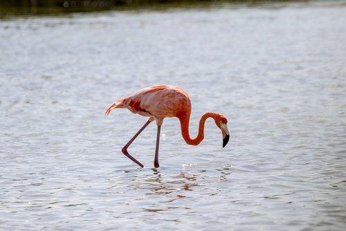 cuba  cienaga de zapata  flamingo