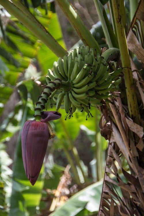 cuba bananas banana flower