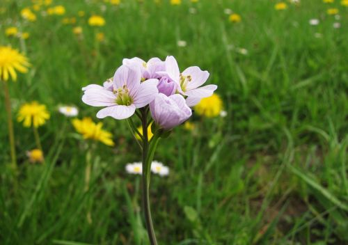 cuckoo flower card amines pratensis tender