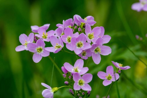 cuckoo flower  wildflowers  smock