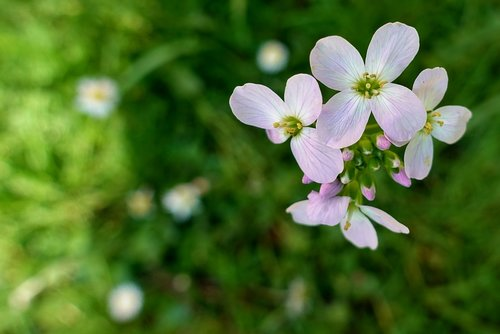 cuckoo flower  card amines pratensis  flower