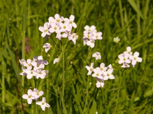 cuckoo flower pointed flower card amines pratensis