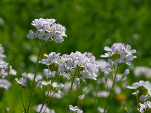 cuckoo flower cardamine cruciferous plant