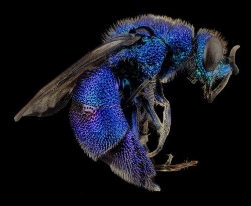 Cuckoo Wasp Closeup