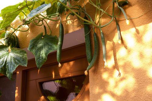 cucumber cucumis sativus cucurbitaceae