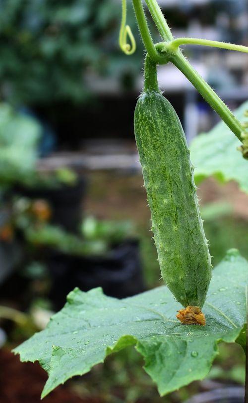 cucumber salad grow vegetable