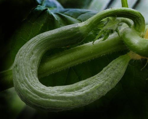 cucumber snake pickle crooked