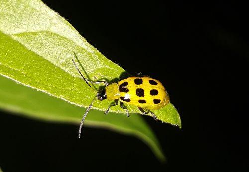 cucumber beetle beetle spotted cucumber beetle