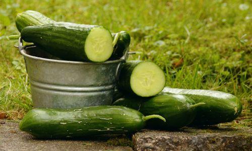 cucumbers garden harvest