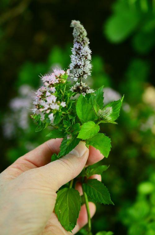 culinary herbs herbs flowers garden