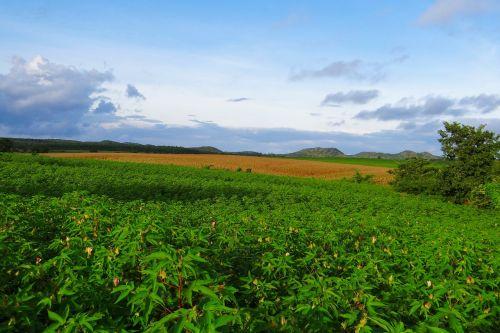 cultivation cotton maize