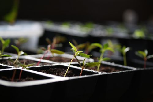 cultivation germinate young plants
