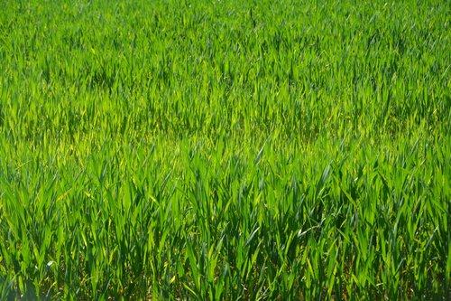culture  wheats  harvest