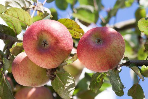 culture of apple apple malus domestica