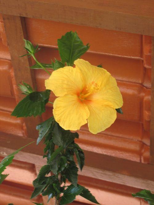 cupid flower yellow