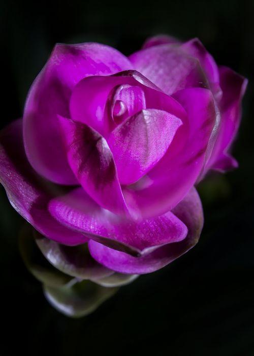 curcuma violet blossom