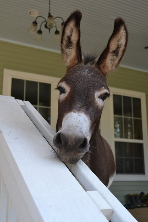 curiosity  porch pet  farm animal