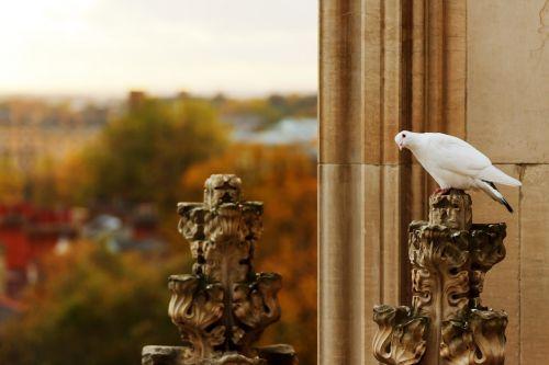 Curious Pigeon