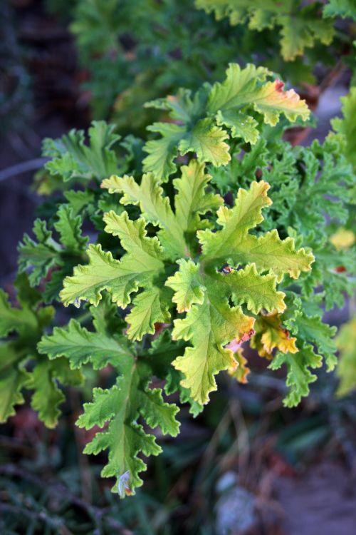 Curled Geranium Leaves