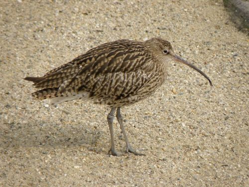curlew bird numenius