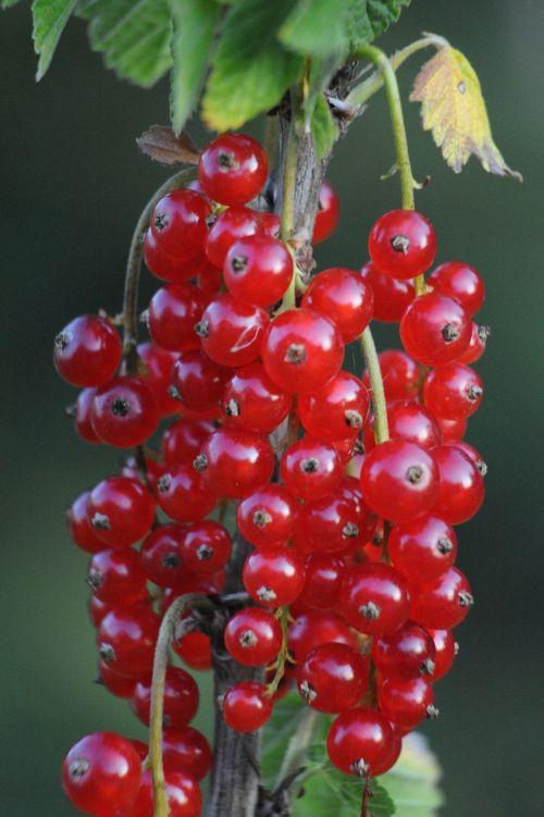 currant fruits fruit