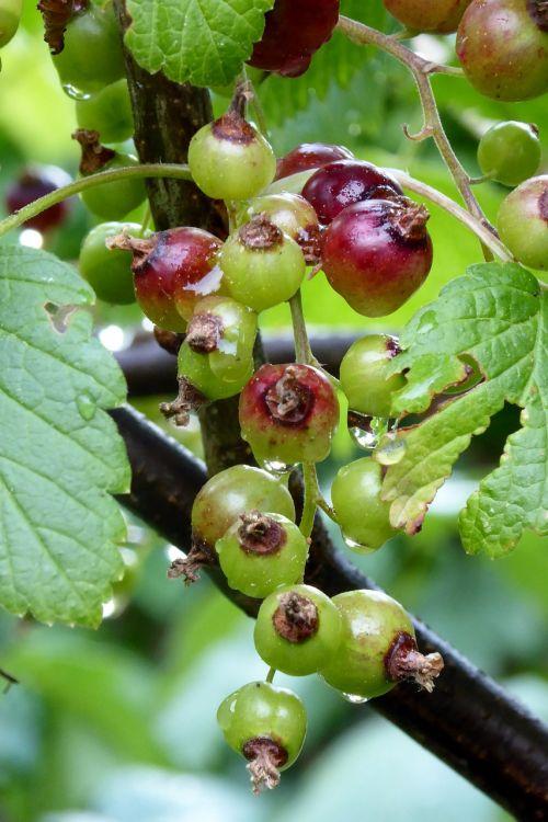 serbentų,vaisiai,minkšti vaisiai,vaisiai,uogos,rūgštus,krūmas,vasaros vaisiai,subrendęs,augti