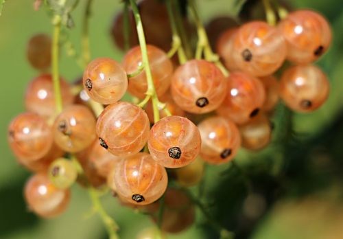 currant berry a bunch of
