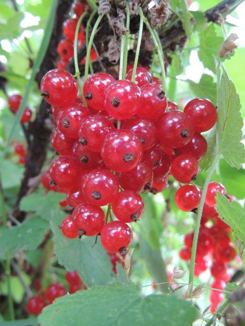 currant berry closeup