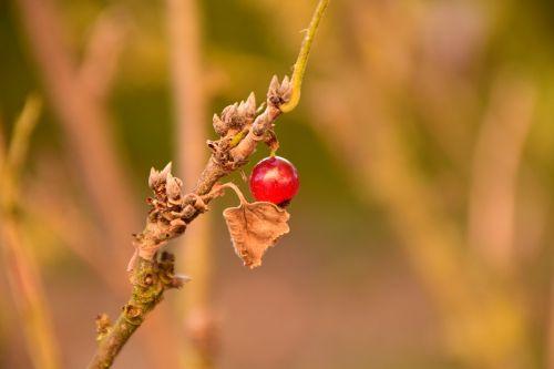 currant autumn bush