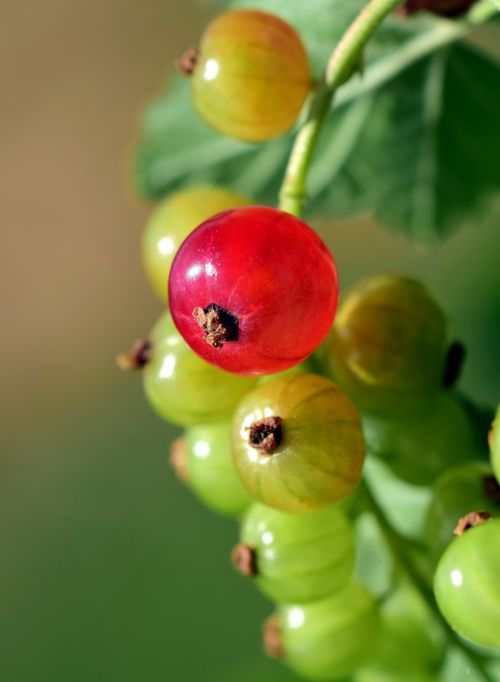 currant panicle fruit