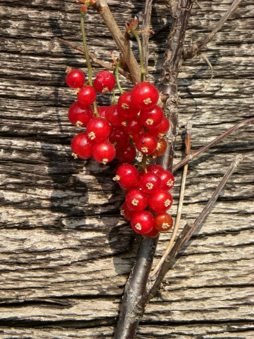 currant berry bush