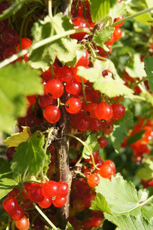 currant red bush
