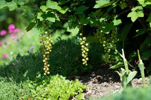 currant  currants  green