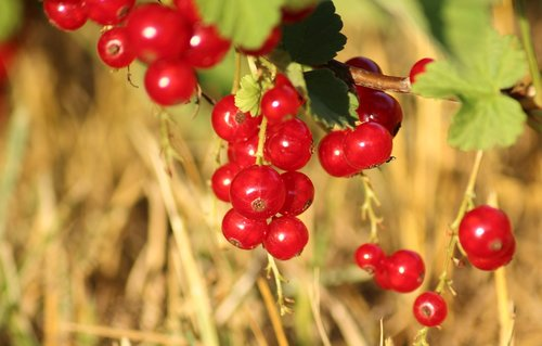 currant  red  fruit