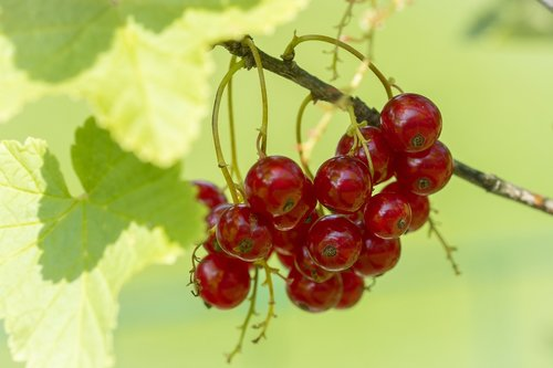 currant  red  red currant